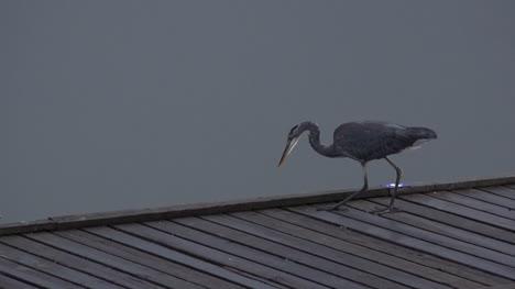 Washington-Heron-Stalking-Pan-And-Zoom