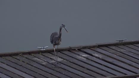 Washington-Heron-Walks-On-Dock-Zoom