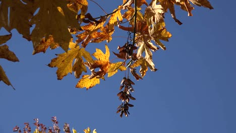 Nature-Big-Leaf-Maple-Leaves-And-Seeds-Against-Blue-Sky