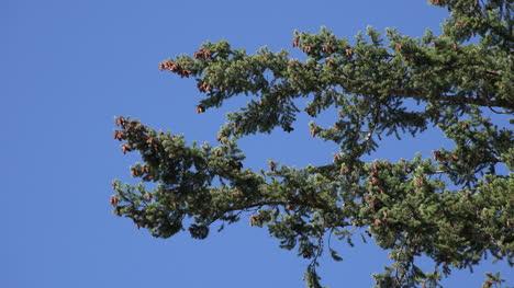 Nature-Douglas-Fir-Cones-And-Blue-Sky