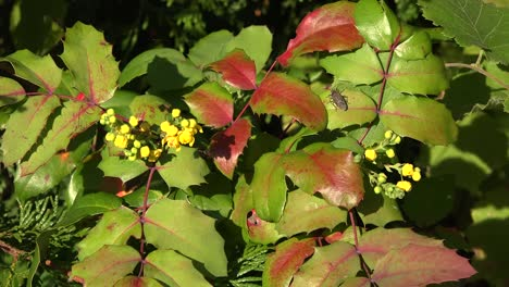 Nature-Insects-And-Oregon-Grape-Flowers