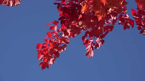 Nature-Red-Leaves-Falling-Against-Blue-Sky
