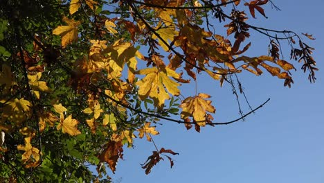 Nature-Yellow-Fall-Leaves-On-Tree-With-Blue-Sky