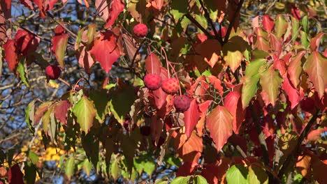 Colores-Otoñales-De-La-Naturalezaaa-En-Arbusto-Con-Bolas