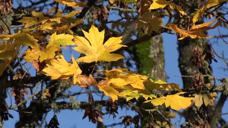 Natur-Große-Ahornblätter-Und-Samen-Im-Herbst