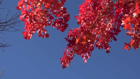 Nature-Blue-Sky-With-Red-Leaves