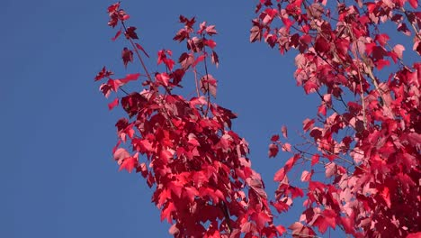 Nature-Branches-And-Red-Leaves-Against-Blue-Sky