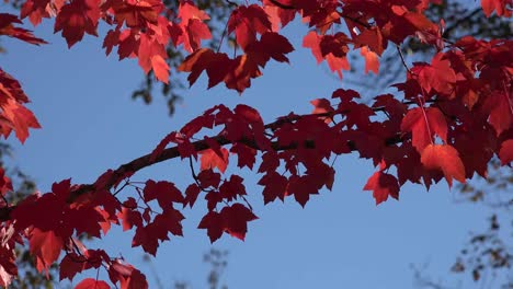 Nature-Bright-Red-Leaves-And-Blue-Sky
