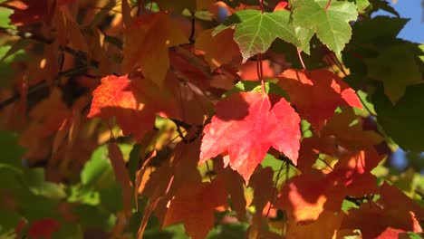 Nature-Bright-Red-Leaves-In-Fall