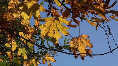 Nature-Detail-Of-Yellow-Leaves-And-Blue-Sky