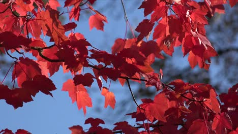 Natur-Rote-Blätter-Und-Blauer-Himmel-Im-Wind