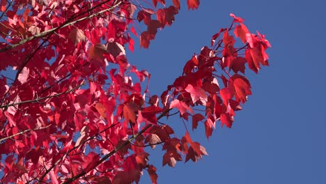 Nature-Red-Leaves-And-Blue-Sky