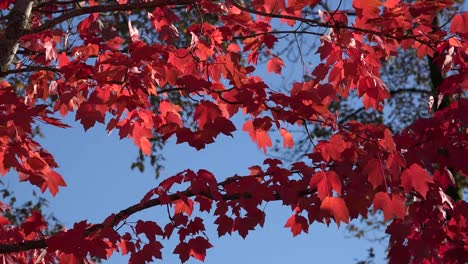 Nature-Red-Leaves-In-Breeze
