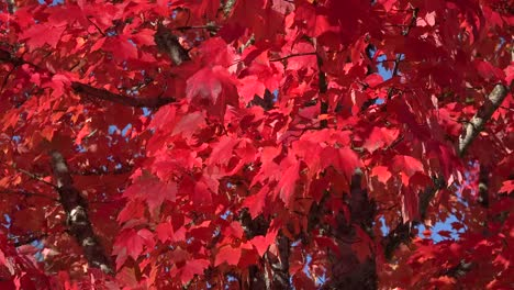 Nature-Red-Leaves-In-The-Breeze