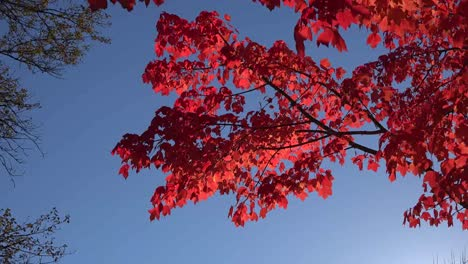 Nature-Red-Leaves-Quiver-In-Breeze