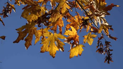 Nature-Yellow-Big-Leaf-Maple-Leaves-And-Seeds
