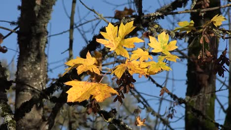 Nature-Yellow-Maple-Leaves-And-Dry-Seeds