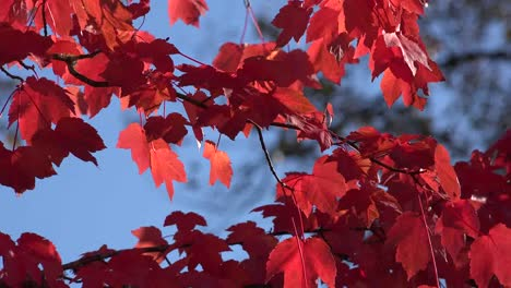 Nature-Zooms-In-On-Red-Leaves