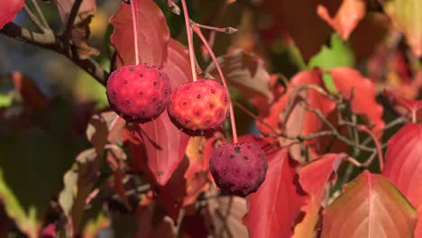 Nature-Zooms-Out-From-Red-Fall-Leaves-And-Balls
