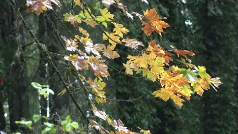 Oregon-Big-Maple-Leaves-In-The-Rain