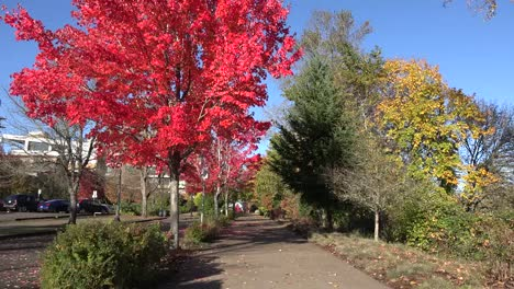 Oregon-Red-Leaves-By-Corvallis-Sidewalk