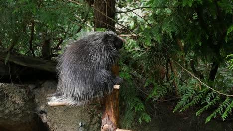 Porcupine-Above