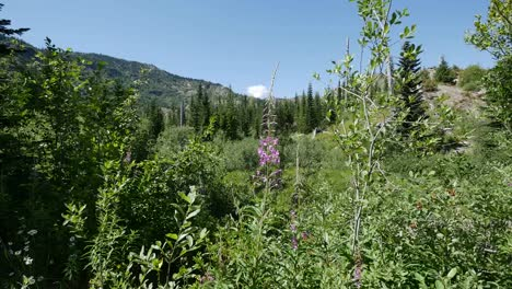 Washington-Fireweed-And-View-Near-Mt-St-Helens