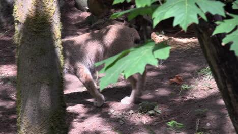 Washington-Lynx-And-Leaves