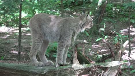 Washington-Lynx-Exploring