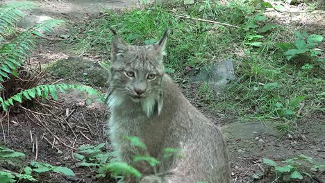 Washington-Lynx-Face
