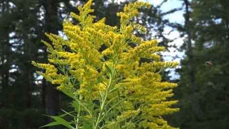 Washington-Bees-On-Goldenrod