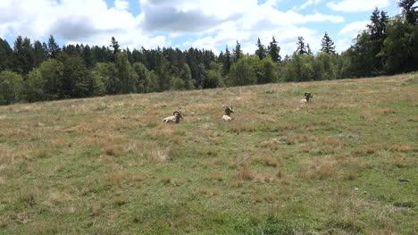 Washington-Big-Horn-Sheep-Rams
