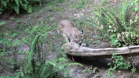 Washington-Bobcat-Scratching