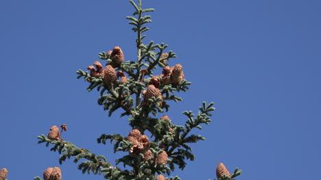 Washington-Fir-Cones-On-Tree