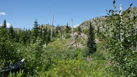 Washington-Returning-Forest-Near-Mt-St-Helens
