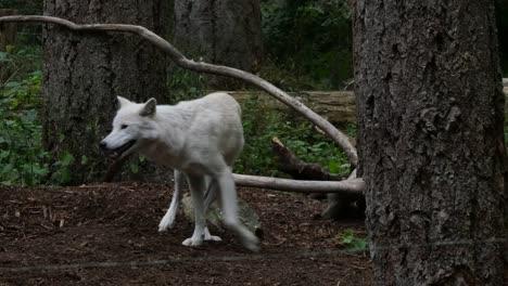 White-Wolf-Shakes-Self