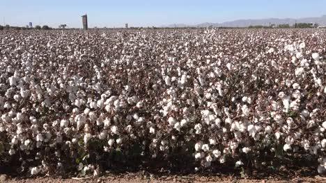 Arizona-Cotton-Field-View