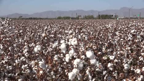 Arizona-Perfect-Cotton-Boll-Zooms-In