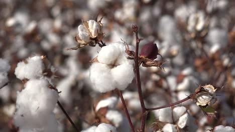 Arizona-Perfect-Cotton-Boll