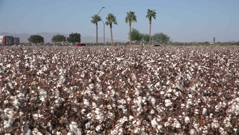 Arizona-Zooms-From-Palms-To-Cotton-Field