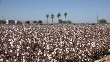 Arizona-Zooms-Out-To-View-Of-Cotton-Field-With-Palms
