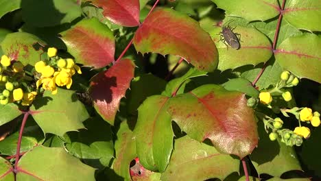 Autumn-Oregon-Grape-With-Insects-Pan