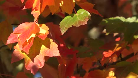 Autumn-Red-And-Orange-Leaves-Pan