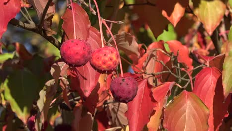 Autumn-Red-Balls-On-Shrub-Pan