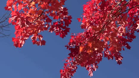 Autumn-Red-Leaves-Against-Blue-Sky-Pan-And-Zoom