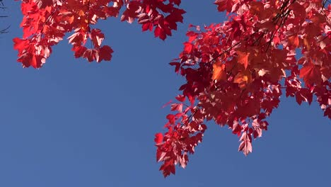 Autumn-Red-Leaves-And-Blue-Sky