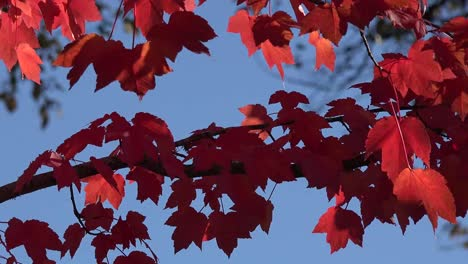 Autumn-Red-Leaves-In-The-Wind