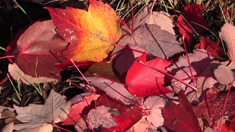 Autumn-Red-Leaves-On-Ground-With-Insect-Pan
