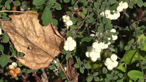 Autumn-White-Berries-And-Dead-Leaf-Pan