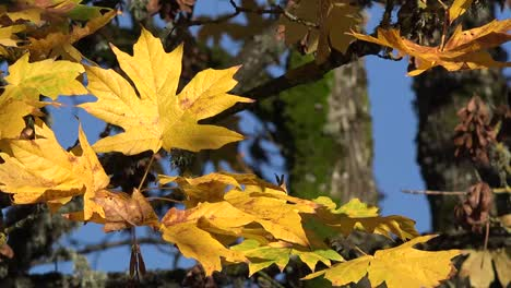 Autumn-Yellow-Big-Leaf-Maple-Leaves-Pan